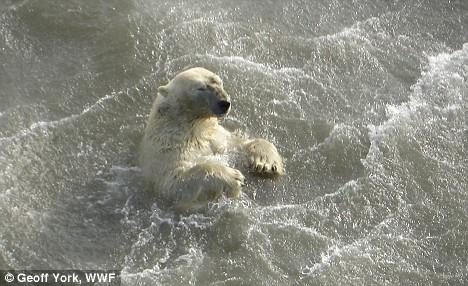 Drowning Polar Bear